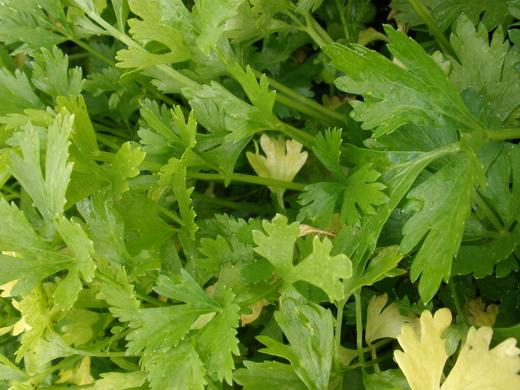 пожелтевшие листья сельдерея