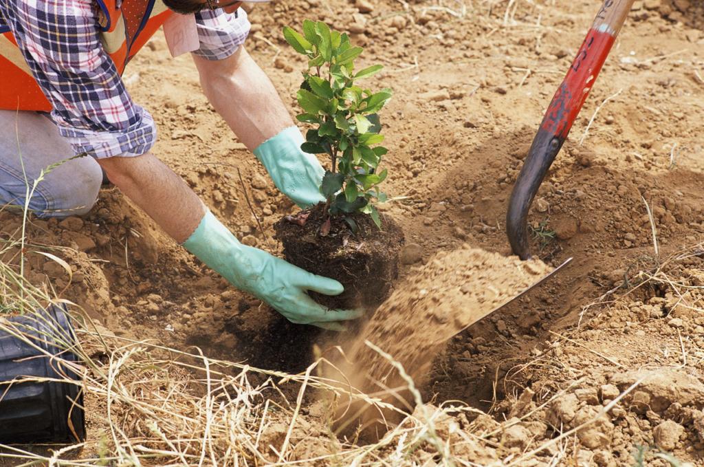 Какие кустарники и деревья можно сажать в августе 36