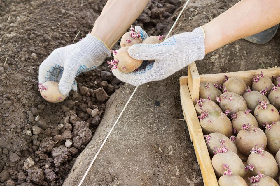 посадка картофеля на участке