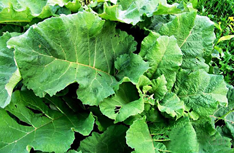 растение лопух