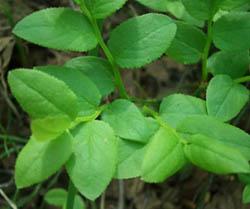 листья черники