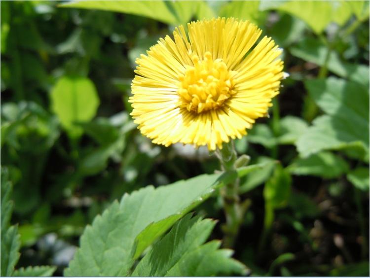 один цветок мать-и-мачехи