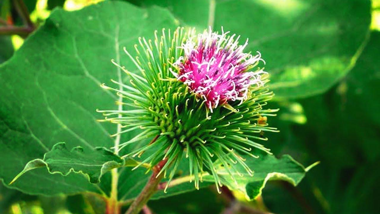 цветок лопуха
