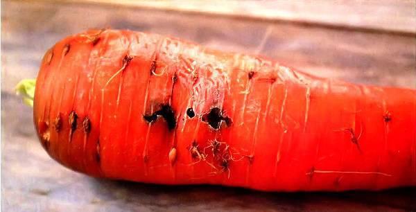 овощ пораженный морковной мухой