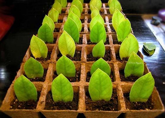 посаженные листья замиокулькаса