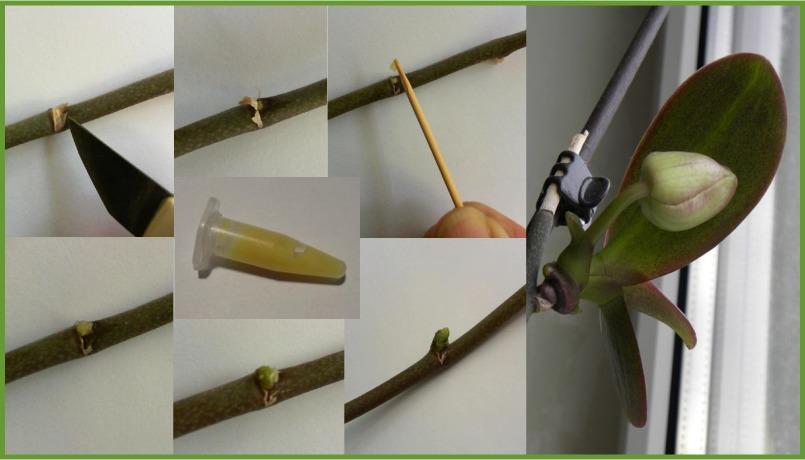 орхидея выращенная при помощи цитокининовой пасты