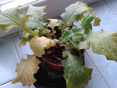 пожелтевшие листья у герберы