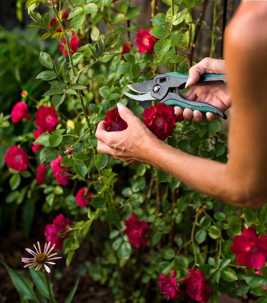 срезка бутона розы