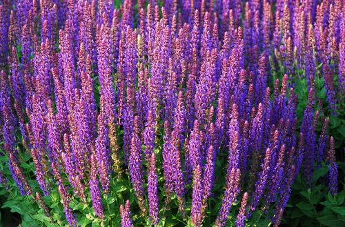 цветение шалфея