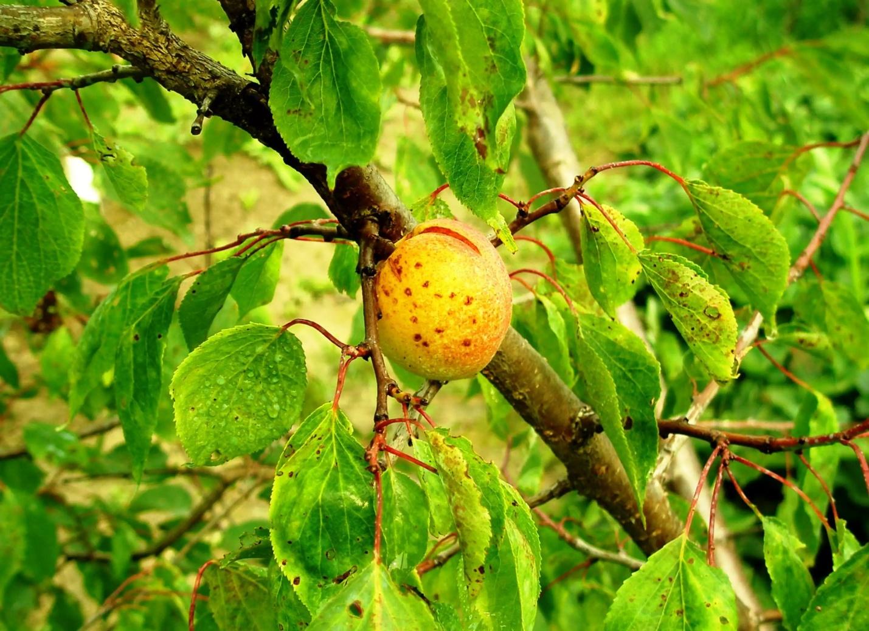 абрикос пораженный монилиозом