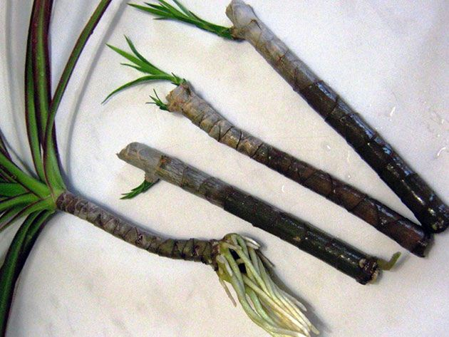 стеблевыми черенками драцены