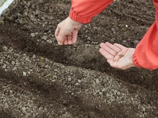 когда сажают морковку в открытый грунт работы физической культуре