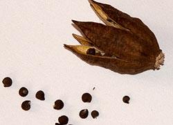 семена гибискуса