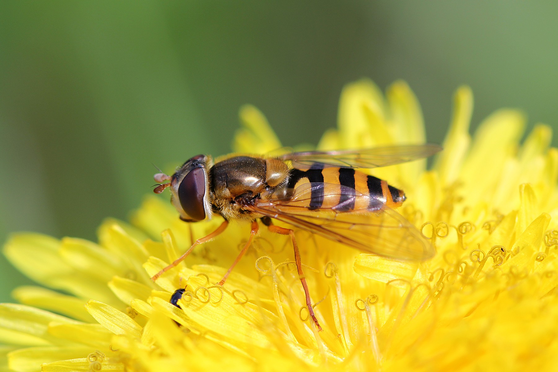 муха-журчалка на цветке