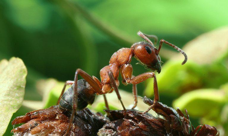 насекомое муравей