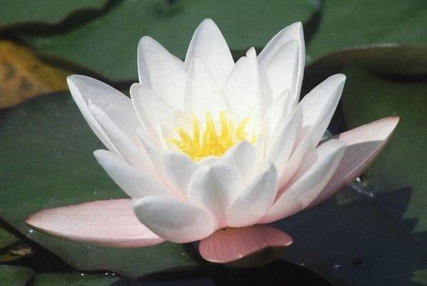 водяная лилия
