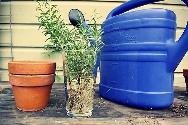 лейка, горшок и черенки растения