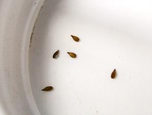 семена гацании