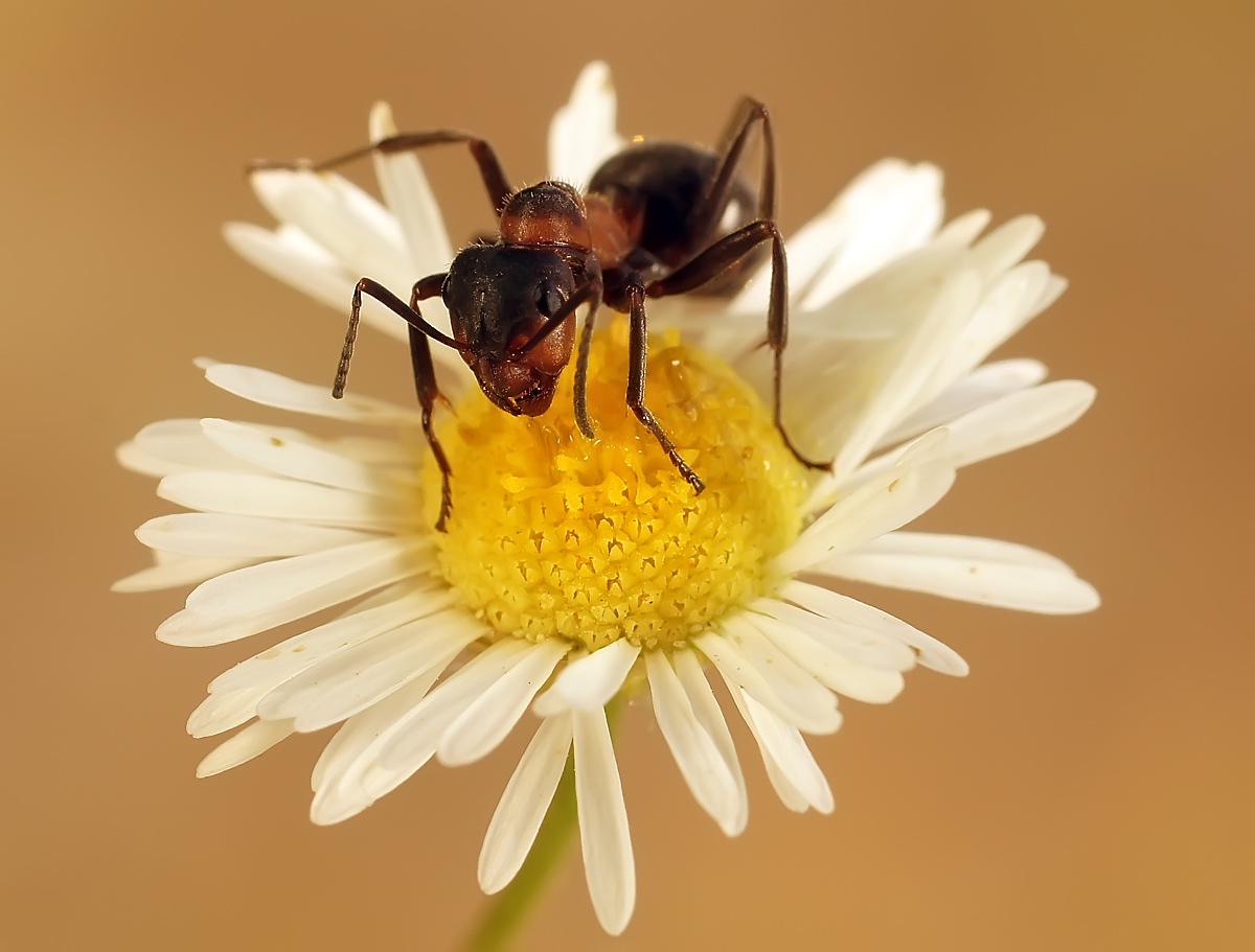 муравей на ромашке