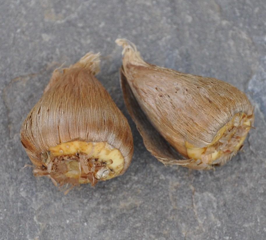 две луковицы фрезии