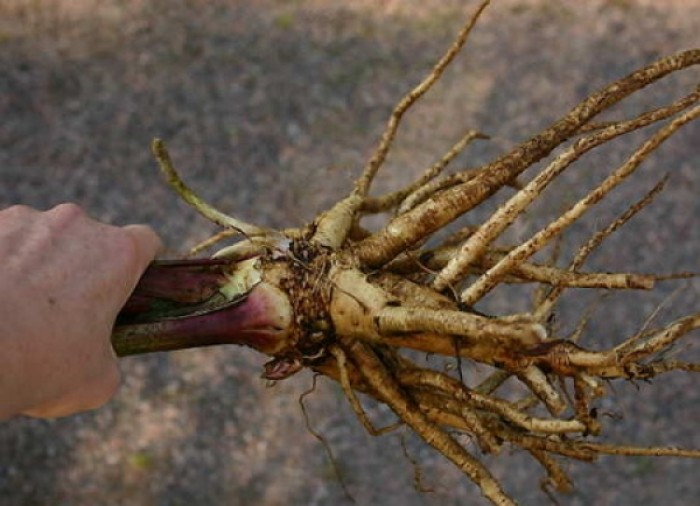 Трава девясил лечебные свойства и противопоказания