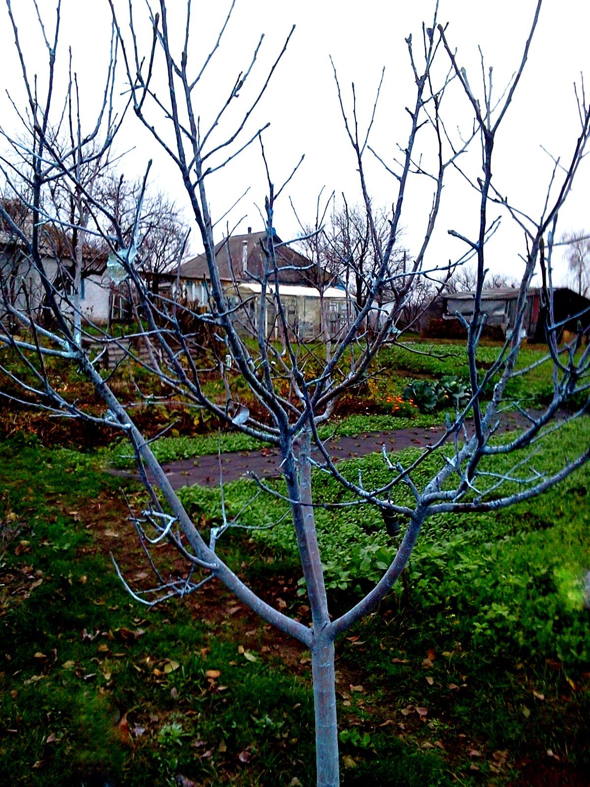 дерево в голубом налете от бордосской жидкости