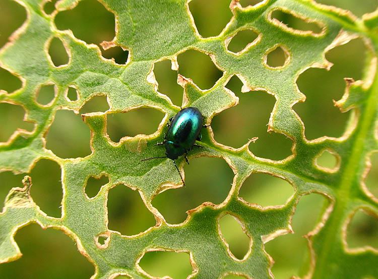 растение поеденное насекомым