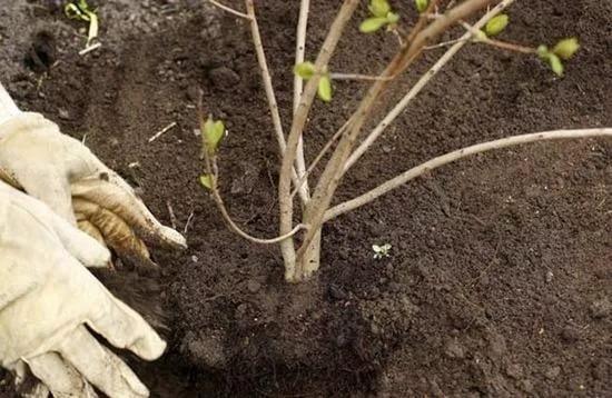 Калина Бульденеж - посадка и уход за декоративным кустарником в открытом грунте