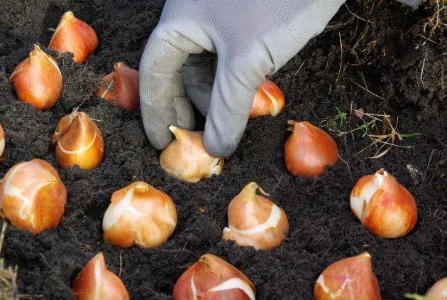 посадка тюльпанов в землю