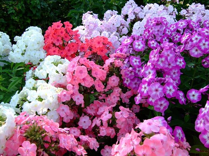 разноцветные флоксы