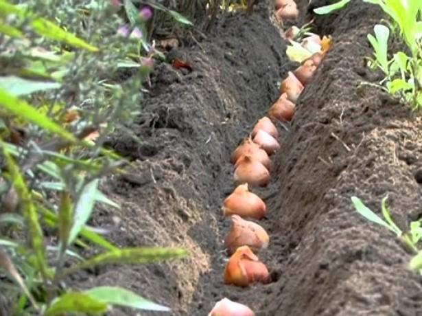 тюльпаны на грядке высаженные в ряд