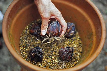 луковицы лилии в горшке