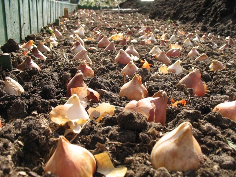 высаженные тюльпаны на грядку