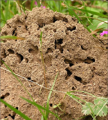 муравейник в саду
