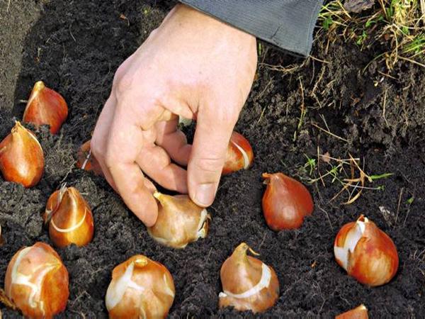 высадка тюльпанов в грунт