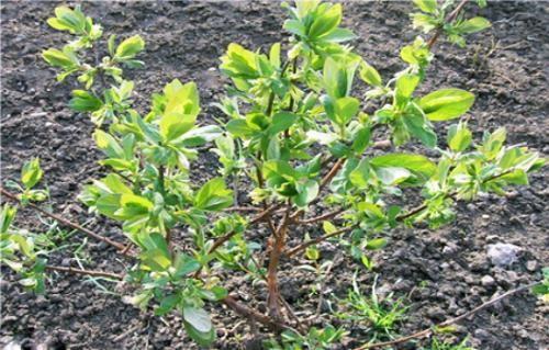 растение жимолость