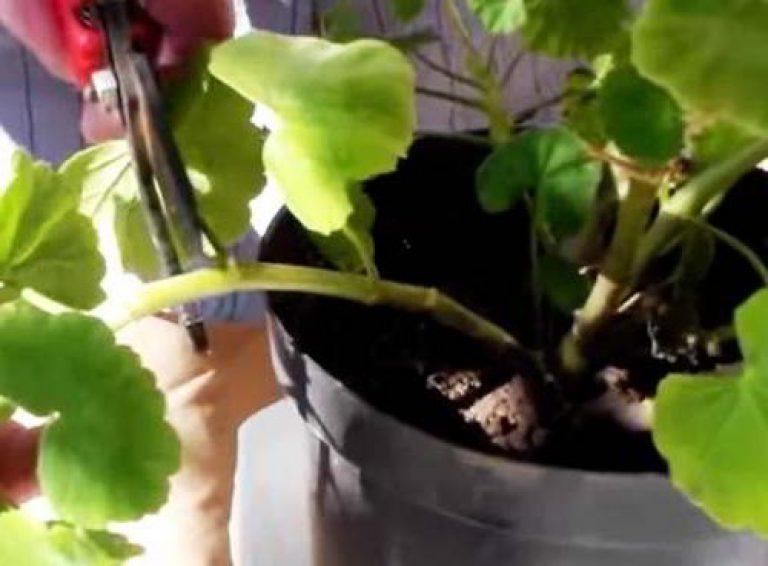 обрезка садовой герани в горшке