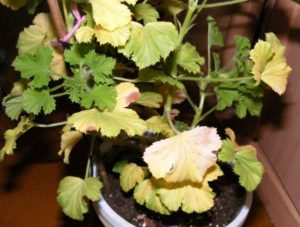 желтые листья у герани