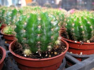 круглый кактус