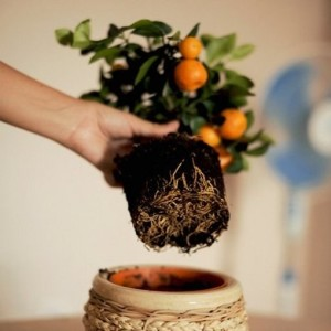 пересадка мандарина
