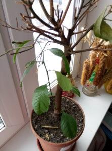 мандарин теряет листья
