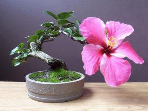 бонсай из китайской розы