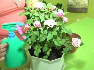 орошение розы в горшке