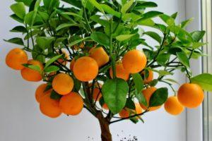 мандарины на окне