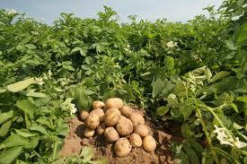 картошка на участке