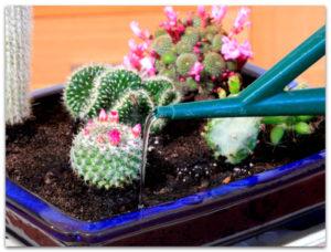 полив кактуса из лейки